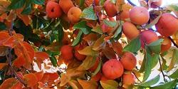 Fuyu persimmon clusters