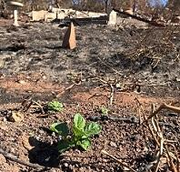 Potatoes resprouting after fire