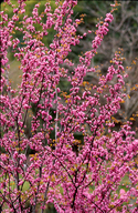 cercis occidentalis in bloom