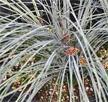 Lomandra confertifolia spp rubiginosa 'Seascape'.