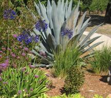 agave american  abrewer garden