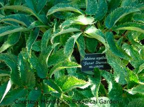 Helleborus argutifolia