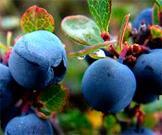 blueberrycloseup