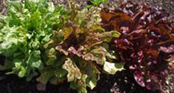 Leaf Lettuce Trio