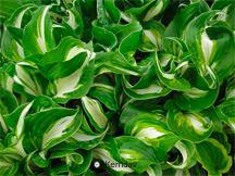 hosta variegated
