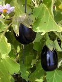 Italian eggplant by Stephanie Wrightson