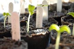 Seedlings - cucumber