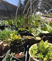 Succulents for sale at Jail Industries.  Photo by Master Gardener  Ellen Zaslansky.