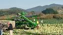 Harvestng Brussel Sprouts