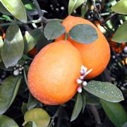 Citrus x Meyer
