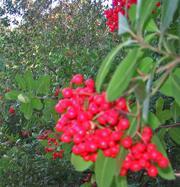 Heteromeles_arbutifolia