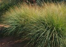 Muhlenbergia rigens2