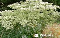 lace buckwheat