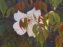 rosachinensis