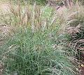 Calamagrostis 'Avalanche'