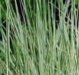 Calamagrostis 'Overdam