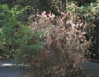 sod tree