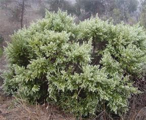 baccharis bush