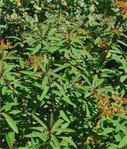 euphorbia griffithii