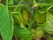 earlytomatoesfruit