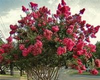 lagerstroemia tree