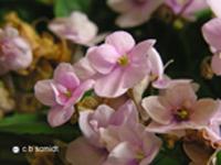af violet 2
