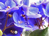 af violet 4