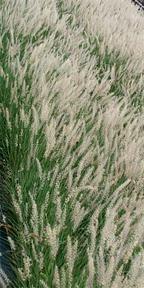 pennisetum orientale massed