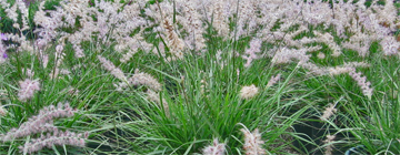 pennisetum orientale multiple
