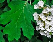 h quercifolea leaf