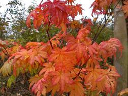 Acer shirasawanum 'Autumn Moon'sm