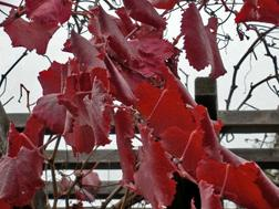 Vitis californica 'Roger's Red'sm