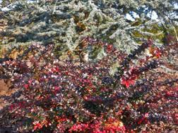 Berberis x 'Red Jewel' and Cedrus atlantica 'Cascade'sm